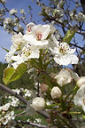Cleveland Pear flower
