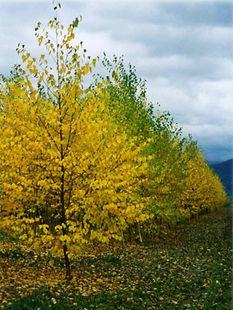 Paper Bark Birch fall color