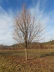 Greenspire Linden tree in winter