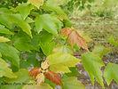 Sun Valley Maple new growth