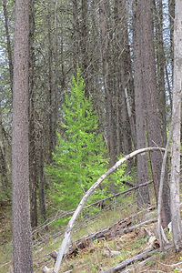 Western Larch tree in spring