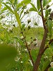 Santa Rosa Plum flower bud