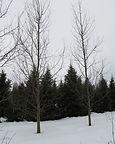 Quaking Aspen tree in winter