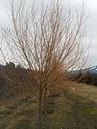 Golden Non-Brittle Willow tree in winter