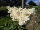 Ivory Silk Tree Lilac flower