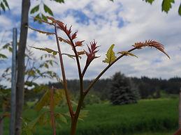 Goldenraintree new growth