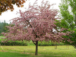 Brandywine Crabapple tree in spring