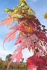 Autumn Blaze Maple fall leaves