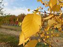 Paper Bark Birch fall leaves