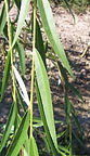 Niobe Weeping Willow leaves