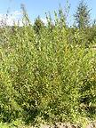 Flame Willow bush