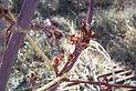 Sensation Box Elder flower bud