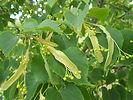 Greenspire Linden flower bud