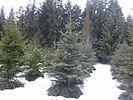 Engelmann Spruce tree in winter