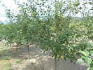 Red Fuji Apple tree