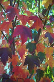 Sun Valley Maple fall leaves