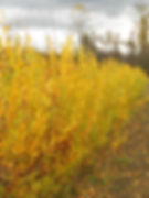 Flame Willow fall color