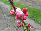 Red Fuji Apple flower bud