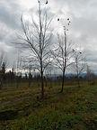 American Sentry Linden tree in winter