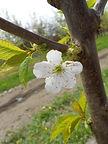 Stella Cherry flower