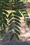 Skyline Honeylocust leaves