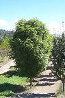 Mancana Ash tree