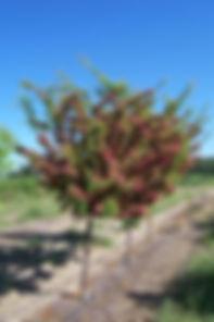 Paul's Scarlet Hawthorn tree in spring