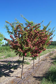 Paul's Scarlet Hawthorn tree in spring