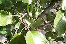Cleveland Pear fruit