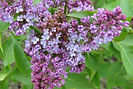 Common Lilac flower