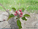 Honeycrisp Apple flower bud