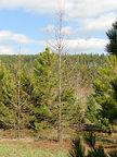 Western Larch tree in winter