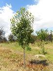 Anjou Pear tree