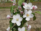 McIntosh Apple flower