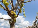 Bur Oak flower