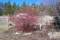 Red Osier Dogwood bush in winter