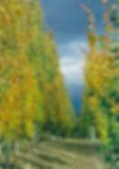 Swedish Aspen fall color