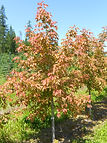 Sensation Box Elder tree in spring