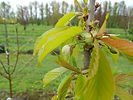 Lapins Cherry flower bud