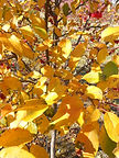 David Crabapple fall leaves