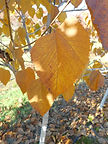 American Sentry Linden fall leaves