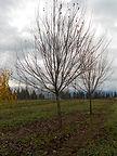 Sun Valley Maple winter tree
