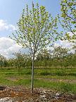 American Sentry Linden tree in spring