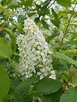 May Day Bird Cherry flower