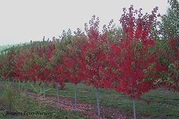 Sun Valley Maple fall color