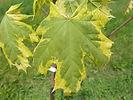 Silver Variegated Maple leaf