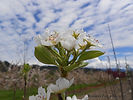 Bartlett Pear flower