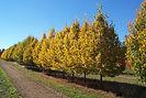 Greenspire Linden fall color