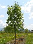 Ivory Silk Tree Lilac tree