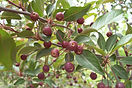Purple Prince Crabapple fruit